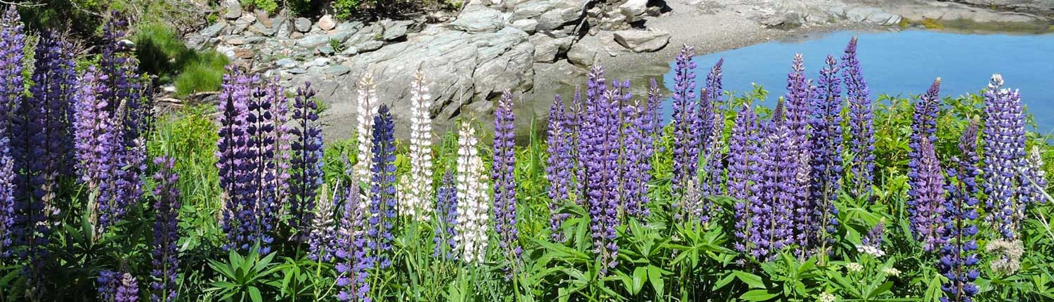 Lupines by the Shore
